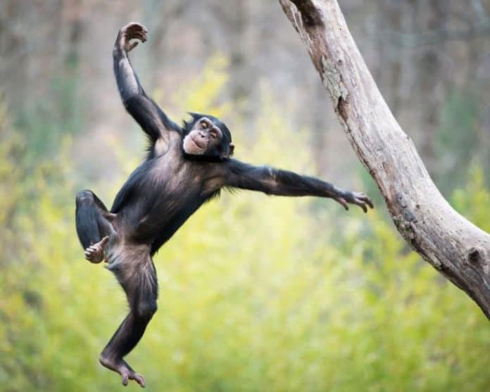 Chimpanzees spontaneously dance to music