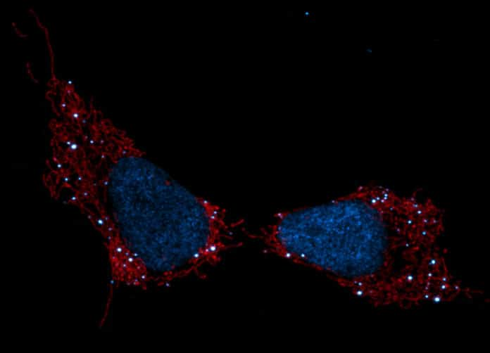 Pictured are mitochondria (red), cell nuclei (blue) and mtDNA (white dots). Credit: Salk Institute/Waitt Advanced Biophotonics Center