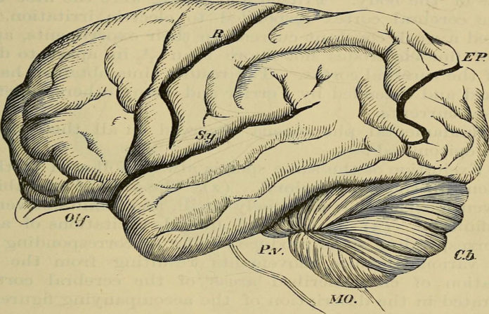 Hand-book of physiology, 1892, Baker, William Morrant orangutan brain
