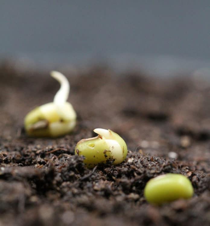 Germinating mung bean seeds. © Bettina Richter