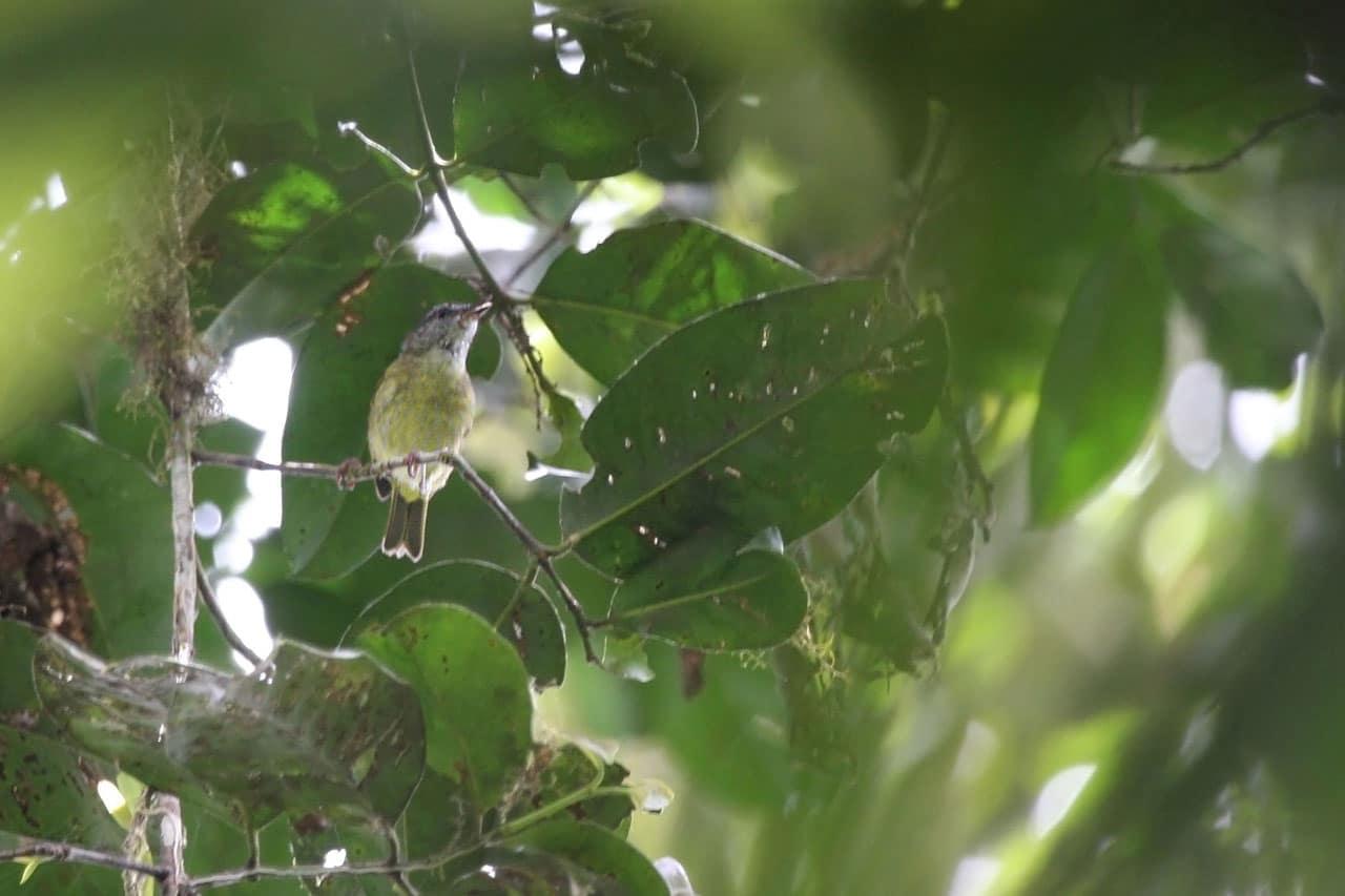 Peleng Leaf-warbler Image: Philippe Verbelen
