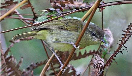 Taliabu Leaf-Warbler Image: James Eaton/Birdtour Asia