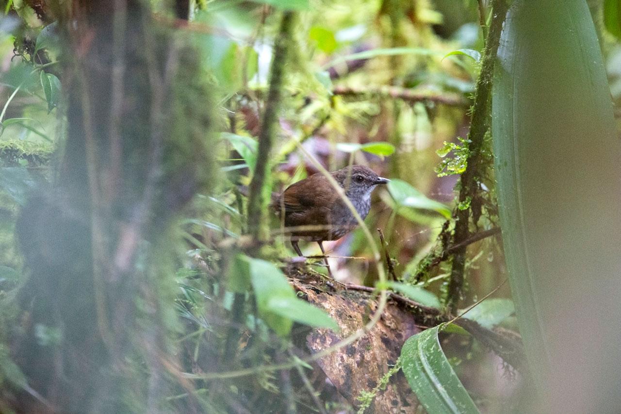 Taliabu Grasshopper-warbler Image: Robert Hutchinson/Birdtour Asia