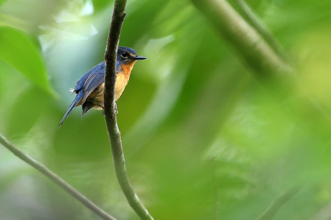 Togian Jungle-flycatcher Image: James Eaton/Birdtour Asia