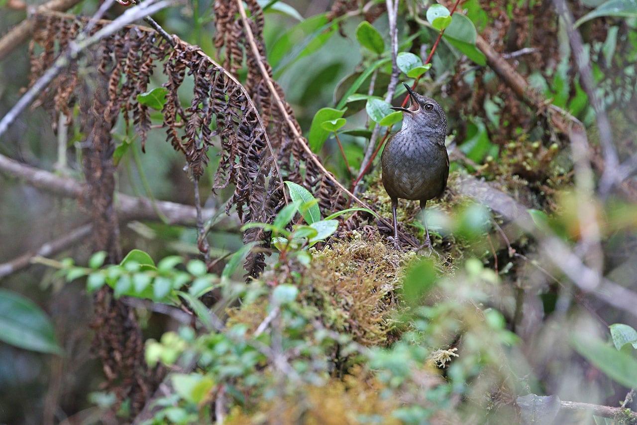 Taliabu Grasshopper-warble Image: James Eaton/Birdtour Asia