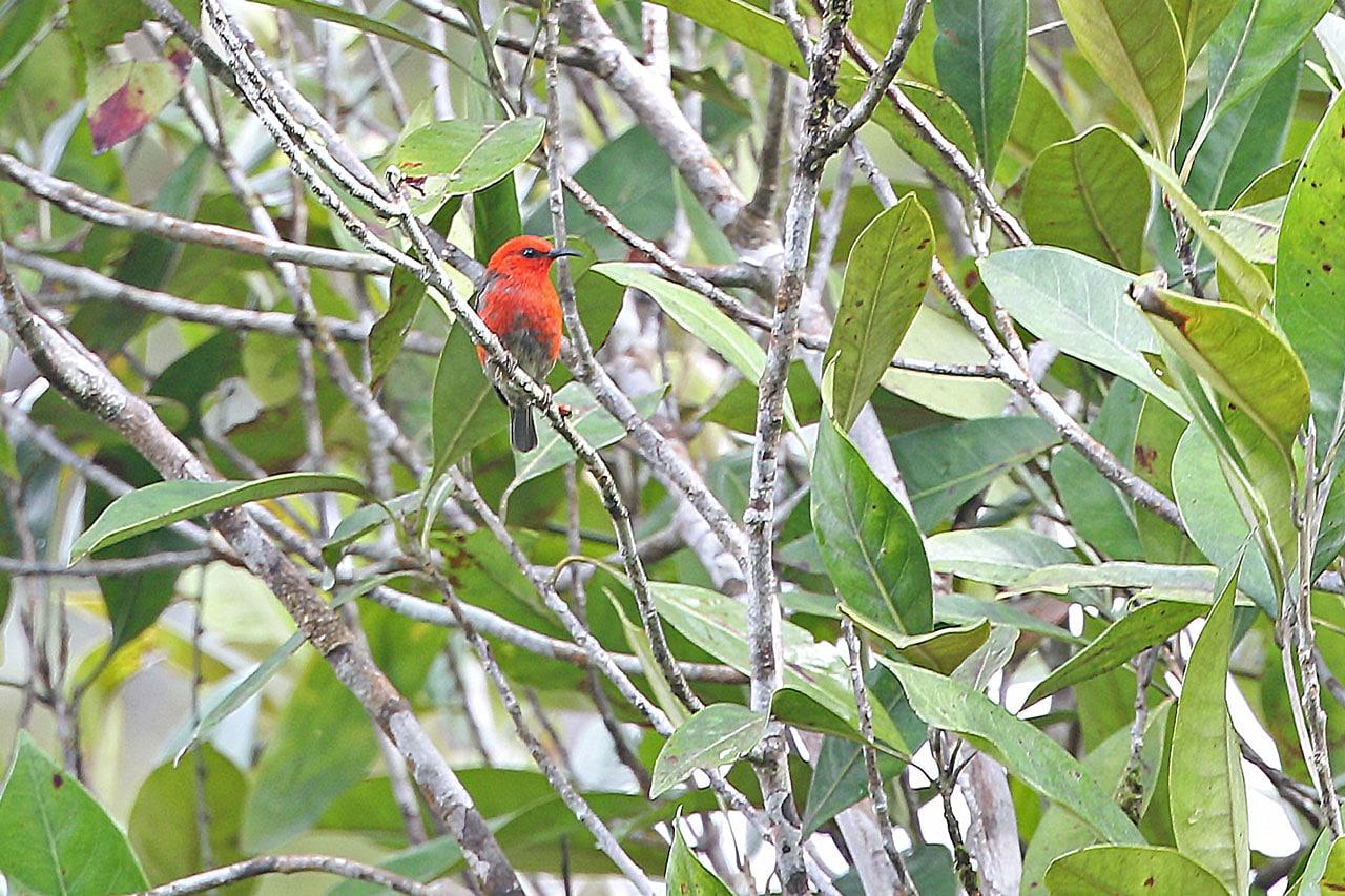 Taliabu Myzomela Image: James Eaton/Birdtour Asia