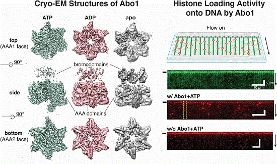 Molecular structures of Abo1 in different energy states (left), Demonstration of an Abo1-assisted histone loading onto DNA by the DNA curtain assay.