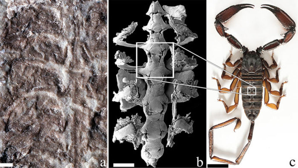 Medial structures associated with the pulmonary-cardiovascular system in Silurian (a) and Holocene (b,c) scorpions. (a) Parioscorpio venator gen. et sp. nov., holotype, detail of medial region showing pulmo-cardiovascular structures; (b) SEM of Centruroides exilicauda, corrosion cast of pericardium and associated pulmo-pericardial sinuses; (c) Hadogenes troglodytes, male, dorsal surface, showing medial structures externally reflecting the position of the internal pericardium (compare with B