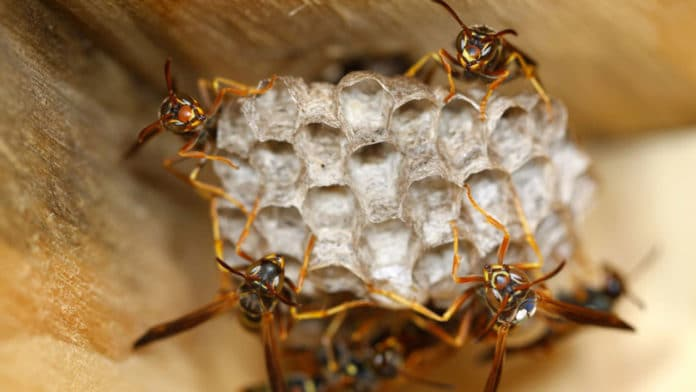 Paper wasps rapidly evolved facial recognition abilities