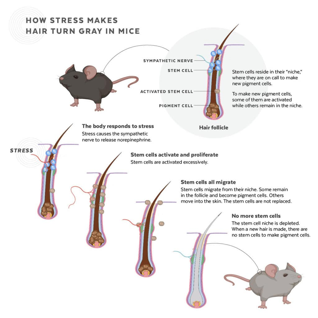 Infographic depicting how stem cells are depleted in response to stress, causing hair to turn gray in mice. Judy Blomquist/Harvard University