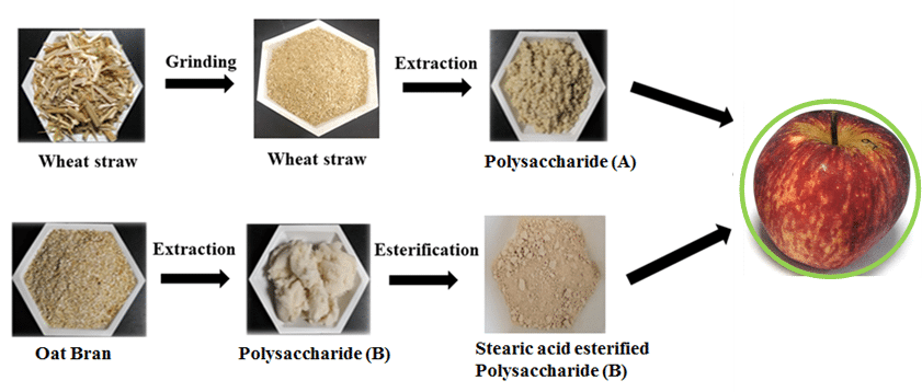 Polysaccharides extracted from (A) Wheat straw and (B) Oat bran for coating applications.