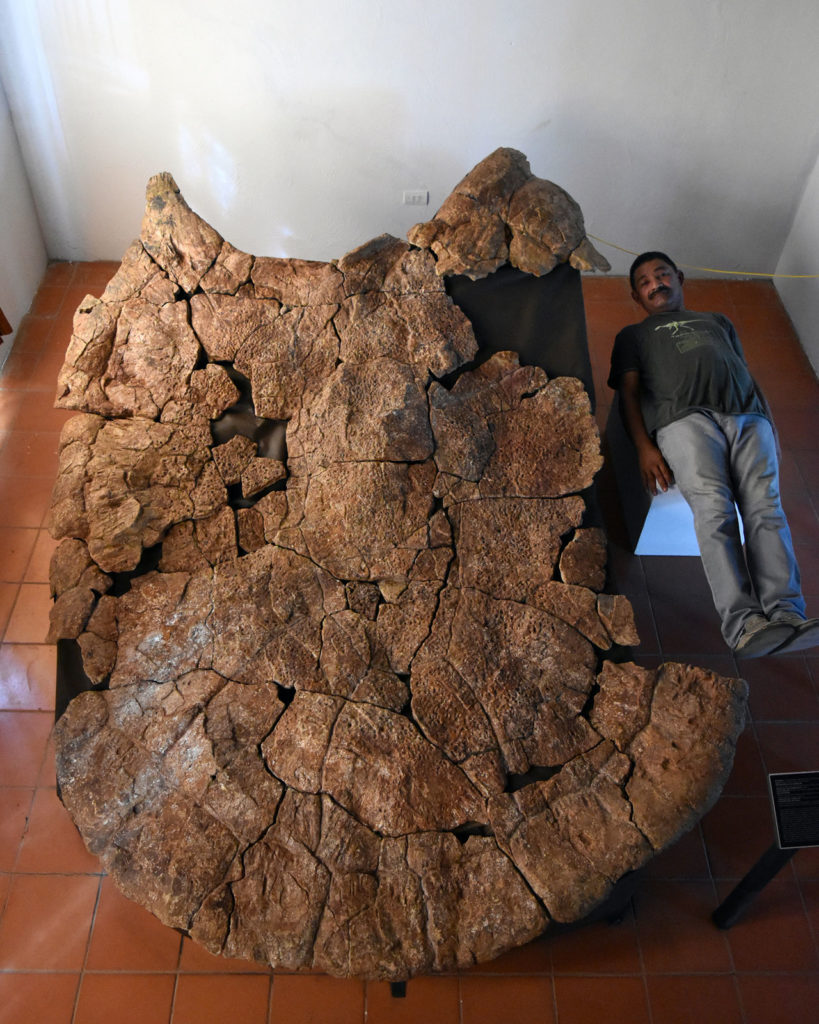 Venezuelan Palaeontologist Rodolfo Sánchez and a male carapace of Stupendemys geographicus, from Venezuela, found in 8 million years old deposits. (Image: Edwin Cadena)