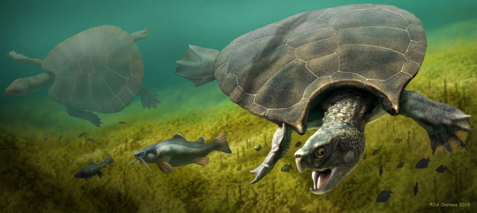 Reconstruction of the giant turtle Stupendemys geographicus: male (front) and female individual (left) swimming in freshwater. (Image: Jaime Chirinos)