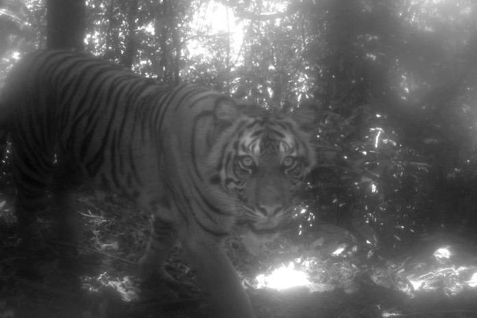 A camera-trap study in a national park in Sumatra captured images of critically endangered wildlife, like this Sumatran tiger (Panthera tigris sumatrae). Photo courtesy Max Allen