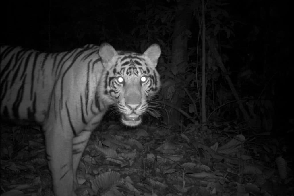 Over a period of eight years, Allen's camera traps captured Sumatran tigers an average of six times during annual 30-day monitoring periods. Photo courtesy Max Allen