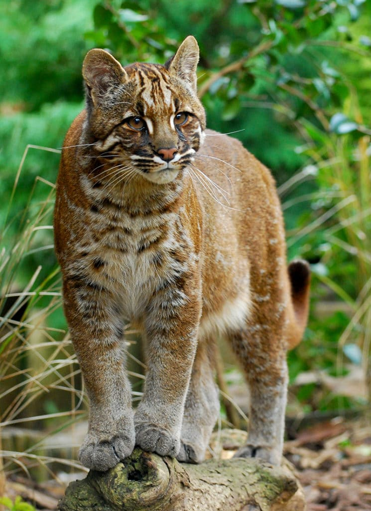 The Asian golden cat (Catopuma temminckii). Photo by Karen Stout, CC BY-SA 2.0 https://bit.ly/37O5ogo