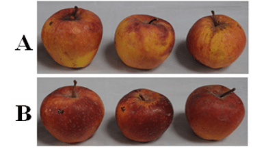 Un-coated apples (A) and coated with 1% NABI coating (WP-SAOP, B), 30 days storage.