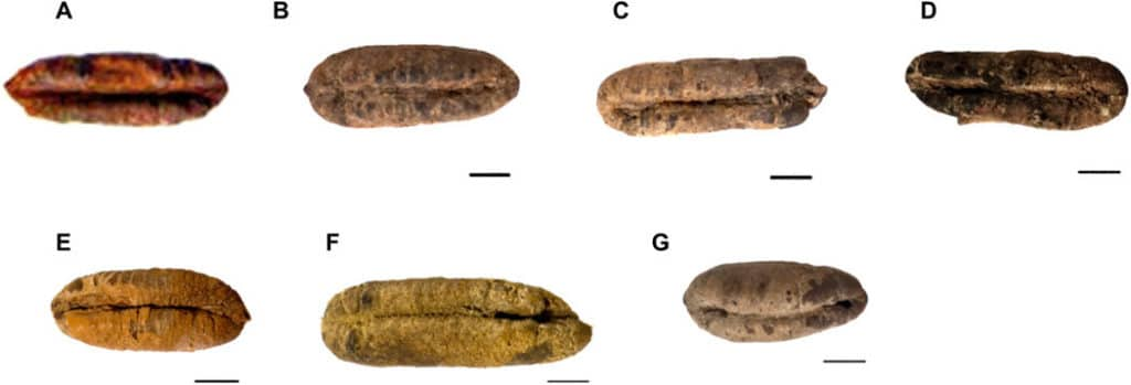 Morphology of six germinated ancient date seeds before planting. (A) Adam, (B) Jonah, (C) Uriel, (D) Boaz, (E) Judith, (F) Hannah, and (G) HU37A11, an unplanted ancient date seed from Qumran (Cave FQ37) used as a control. Scale bars, 0.5 cm (A, no bar size as unmeasured before planting). Photo credit: Guy Eisner. Credit: Science Advances (2020). DOI: 10.1126/sciadv.aax0384