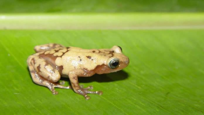 The common giant tree frog from Madagascar is one of many species impacted by recent climate change. Credit: John J. Wiens