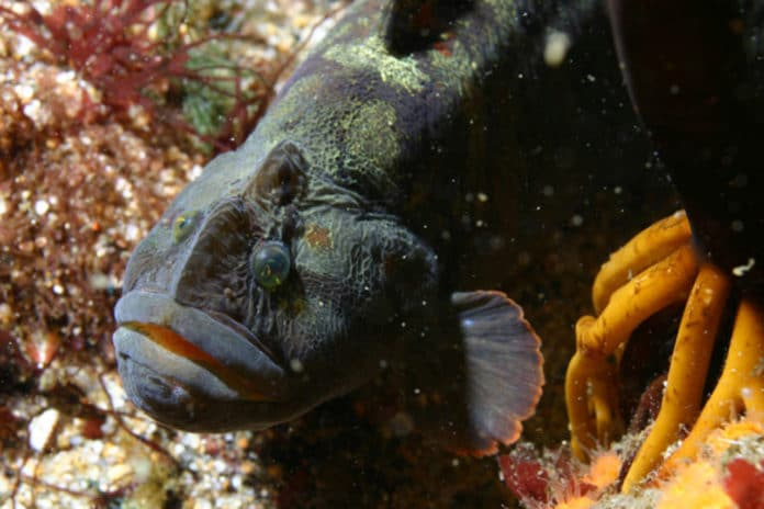 The monkeyface prickleback fish could be the new white meat