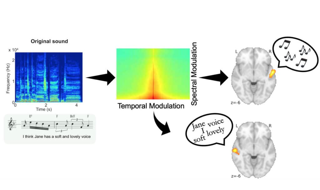 How the brain separates speech from the song?