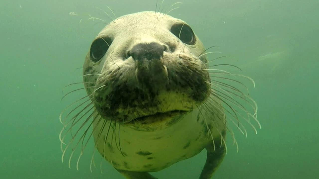 Grey seal filmed clapping underwater to communicate