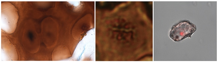 Cartilage cells from skull of Hypacrosaurus nestlings. On the left are two cells at the end of cell division, showing material consistent with condensed nuclei. Right in the middle is the higher magnification of another cell that shows chromosomes. On the right is an isolated dinosaur cartilage cell reacting with the DNA stain propidium iodide (red dot, inside the cell). (Photos provided to Xinhua by Alida Bailleul and Zheng Wenxia)