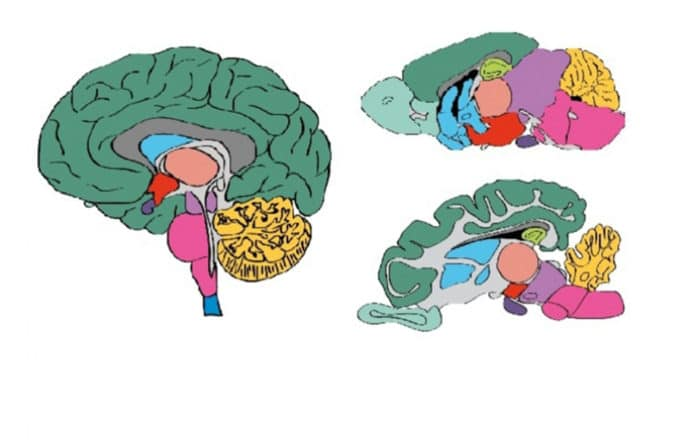 Schematic drawings of the human (left), mouse (top right) and pig (bottom right) brains, indicating the different regions and the anatomy. Images from www.proteinatlas.org/brain