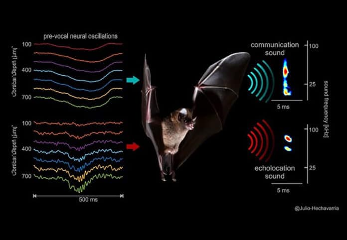 The image shows that different vocalization-related neural signals occurring across frontal cortex laminae (left) precede the two types of sounds (right) uttered by bats (species: Carollia perspicillata). The sounds are shown as color-coded time-frequency representations. One example social call is shown in the top right and one example echolocation call in the bottom right. Copyright: Julio C. Hechavarria, Goethe University Frankfurt