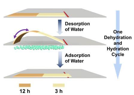 A bi-material pollen strip is able to 'walk' with the absorption and desorption of water.
