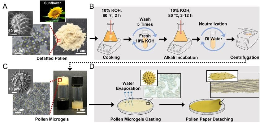 The process of converting ultra-tough pollen grains from sunflowers into a paper-like material.