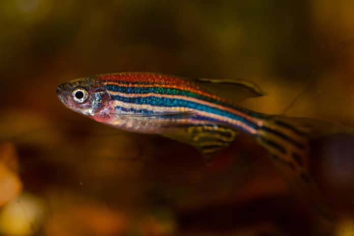Imaging a zebrafish's brain at all stages of its development