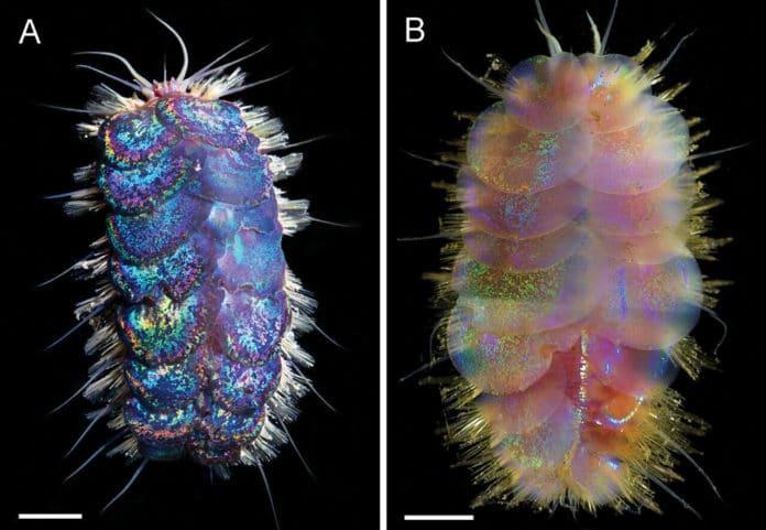 Scientists identified four species of deep-sea Elvis worm