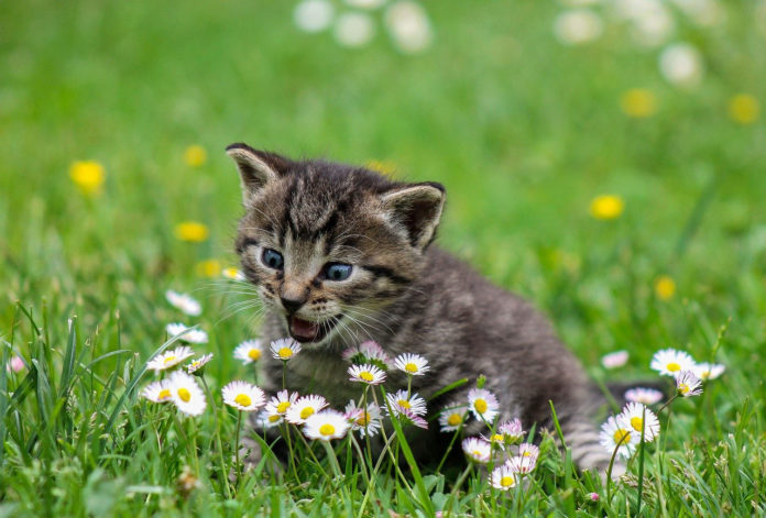 Cats can readily become infected with and transmit coronavirus
