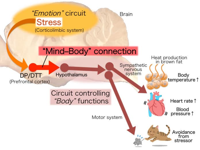 eural circuit that drives physical responses to emotional stress. Emotional stress signals are processed in the
