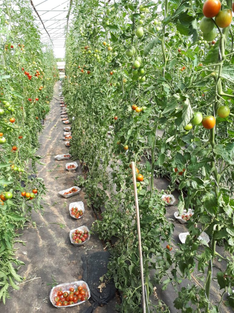 If we want to know about flavour, the variety of tomato is the most important consideration Photo: Division of Quality of Plant Products, University of Göttingen