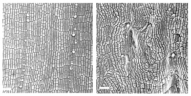 Microscope image of healthy (left) and TANGLED1 mutant cells (right).