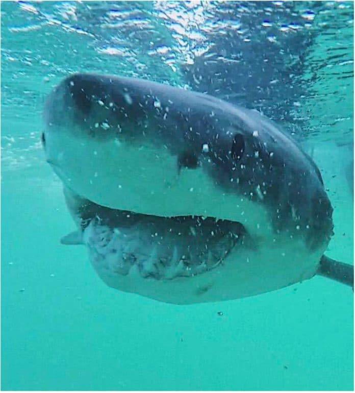 GoPro image of a great white shark off east Australian coast at Evans Head, New South Wales. Credit: Richard Grainger/University of Sydney