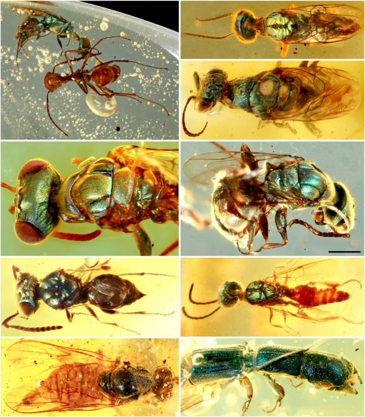 Diverse structural-colored insects in mid-Cretaceous amber from northern Myanmar.