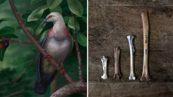 Scientists found remains of an extinct species of half-meter-long pigeon.