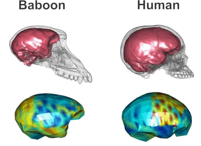 Baboon and human brain