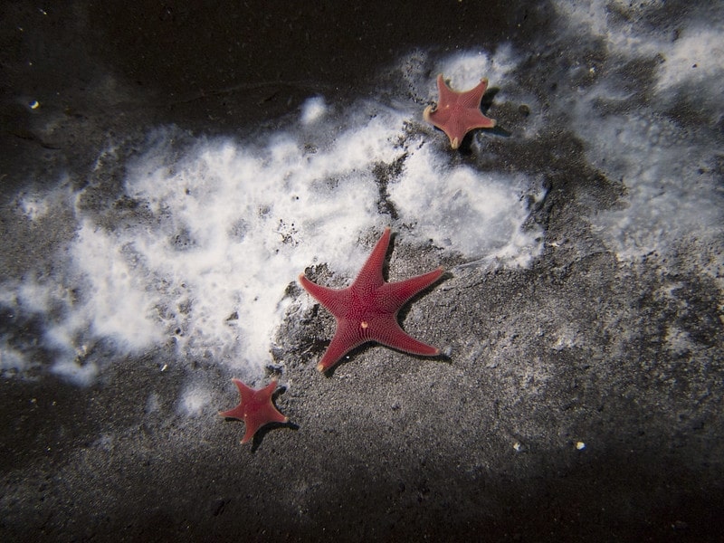 Sea stars gather around a microbial mat
