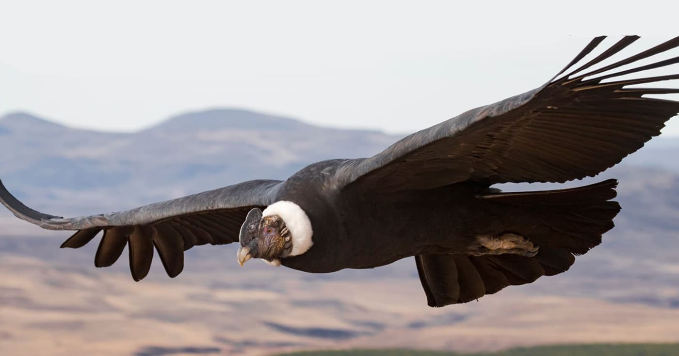 A study suggests Andean Condor birds fly around 172 km without flapping