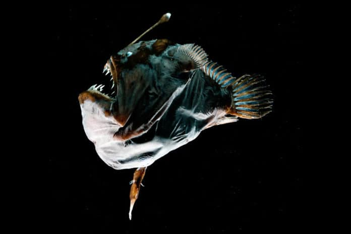 A female anglerfish, known as the Black Seadevil (Melanocetus johnsonii), with a relatively tiny parasitic male attached on her underside.