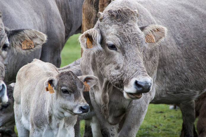 Aspirin after calving can provide relief to dairy cows
