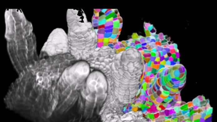 Microscopy provides imagery to the algorithm that then delineates the cellular structures, making the segmentation clearer