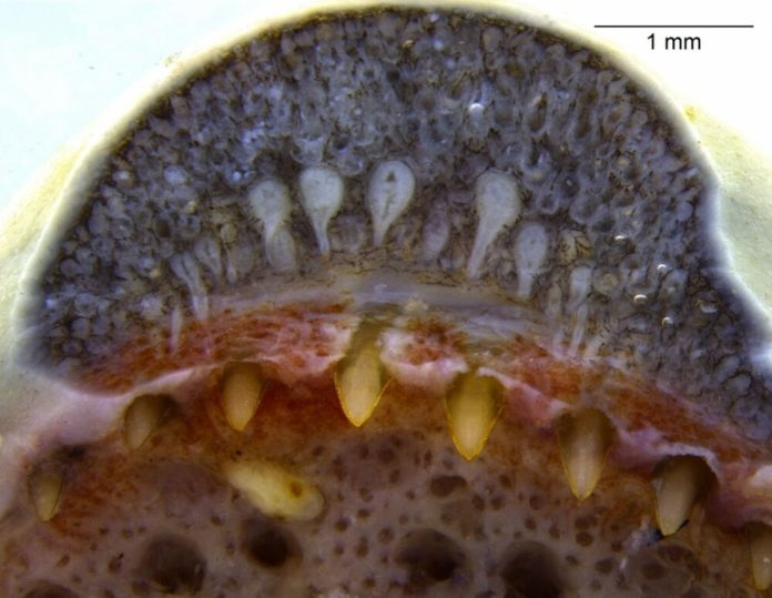 Brazilian researchers discover that caecilians, limbless amphibians resembling worms or snakes that emerged some 150 million years before the latter