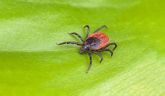 Scientists identified a protein that protects against Lyme disease