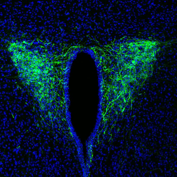 The optogenetic tool Channelrhodopsin2 expresses CRF neurons in the paraventricular nucleus