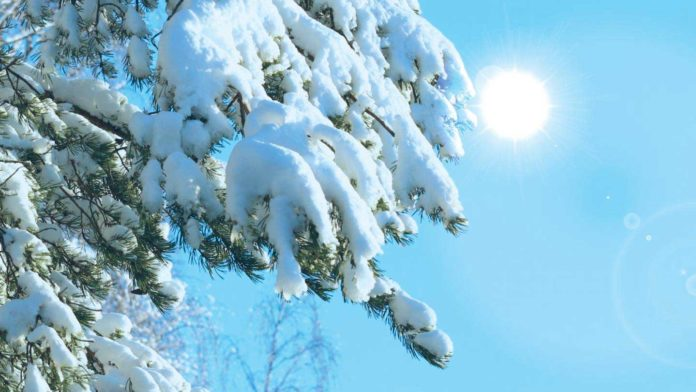 How Christmas trees keep their green needles over the boreal winter?